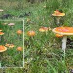 Röda flugsvampar