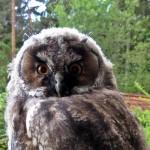 Hornuggla, ungfågel